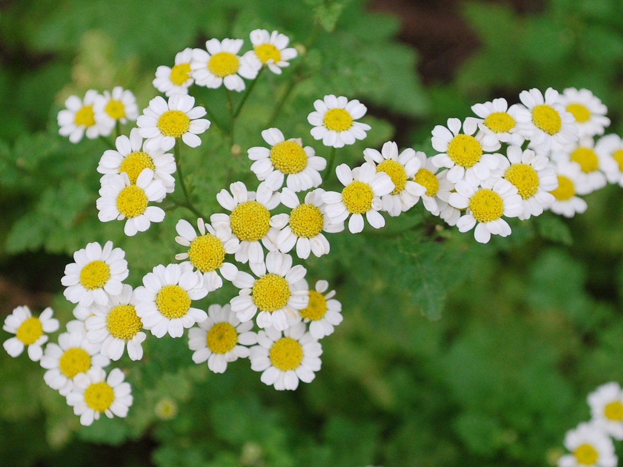 ナツシロギク(キク科) - ナツシロギク(キク科) - お花の見頃情報